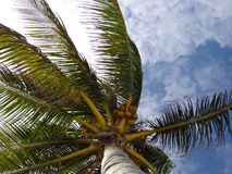 Mexico Palmtree. My favorite palm tree in the world against the blue sky Royalty Free Stock Photo