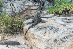 Mexico wildlife free iguana living lizard beach  Royalty Free Stock Photography