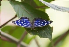 Mexikan Bluewing, Myscelia cyaniris arkivbilder