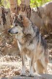 Mexikan Gray Wolf Head On Royaltyfri Fotografi