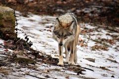 Mexikan Grey Wolf royaltyfria bilder