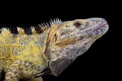 Mexikaner stachelig-angebundener Leguan (Ctenosaura kammförmig) lizenzfreie stockfotos