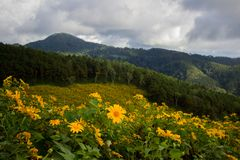 Mexikaner SunflowerBua-Zangenhügel von Doi Mae U-Kho in Bezirk Khun Yuam, Mae Hong Son, Nord-Thailand Im November blühen und D Lizenzfreies Stockbild