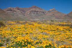 Mexikanische Goldmohnblumen stockbilder