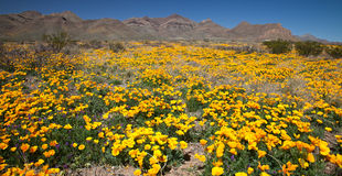Mexikanische Goldmohnblumen lizenzfreie stockfotografie