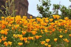 Mexikanische Goldmohnblumen Lizenzfreies Stockbild