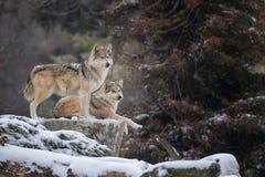 Mexikanische graue Wölfe Lizenzfreie Stockbilder