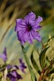 Mexikanische Petunie (Ruellia brittoniana) Lizenzfreie Stockfotos
