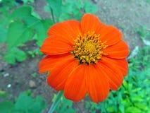 Mexikanische Sonnenblume Stockbild
