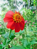 Mexikanische Sonnenblume Stockfotos