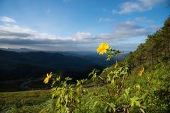 Mexikanische Sonnenblume Lizenzfreie Stockfotos