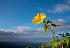 Mexikanische Sonnenblume Lizenzfreie Stockfotografie