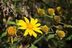 Mexikanische Sonnenblume Stockfotografie
