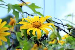 Mexikanische Sonnenblume auf hellblauem Hintergrund bei Doi Laung Chiangdao in Chiangmai, Thailand lizenzfreies stockfoto