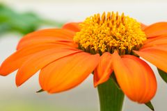 Mexikanische Sonnenblume ausführlich Nahaufnahme Lizenzfreies Stockbild