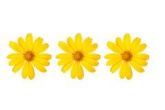 Mexikanische Sonnenblume lokalisiert auf weißem Hintergrund Lizenzfreie Stockbilder