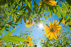 Mexikanische Sonnenblume und der Hintergrund des blauen Himmels Stockfotografie