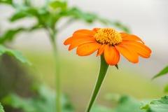 Mexikanische Sonnenblume in voller Blüte Lizenzfreies Stockfoto