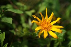 Mexikanische Sonnenblumen stockfoto