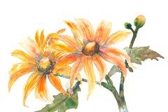 Mexikanische Sonnenblumen auf Weiß, Aquarellmalerei Stockfotografie