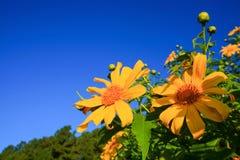 Mexikanische Sonnenblumen mit blauem Himmel Lizenzfreie Stockbilder