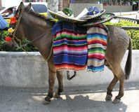 Mexikanischer Esel Lizenzfreie Stockbilder