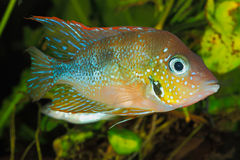 Mexikanischer Goldcichlid (Thorichthys goldfarbig) Stockfoto