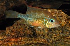 Mexikanischer Goldcichlid Thorichthys goldfarbig lizenzfreies stockbild