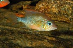 Mexikanischer Goldcichlid Thorichthys goldfarbig lizenzfreie stockfotografie