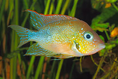 Mexikanischer Goldcichlid Thorichthys goldfarbig lizenzfreie stockfotos
