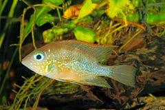 Mexikanischer Goldcichlid Thorichthys goldfarbig stockfotografie