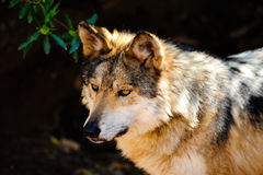 Mexikanischer grauer Wolf stockbild
