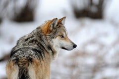 Mexikanischer grauer Wolf Lizenzfreie Stockfotos