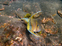 Mexikanischer Hogfish stockfotografie