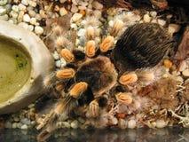 Mexikanischer Redkneed Tarantula stockbilder