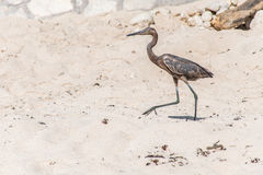 Mexikanischer Reiher bird beach Del Carmen Yucatan 13 Stockfotos