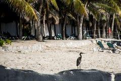 Mexikanischer Reihervogel am Strand Yucatan stockfotografie