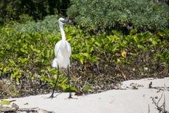 Mexikanischer Reihervogel am Strand Yucatan 5 lizenzfreie stockbilder