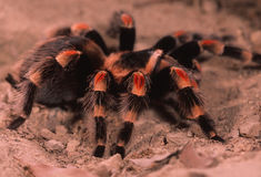 Mexikanischer roter Fahrwerkbein Tarantula Stockfotografie