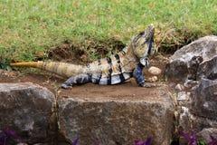 Mexikanischer stachelig-angebundener Leguan während eines fügenden Zeitraums Stockfotografie