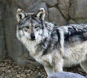 Mexikanischer Wolf lizenzfreie stockfotografie