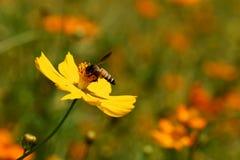 Mexikanisches Gänseblümchen (Kosmos) mit Biene Stockfotos