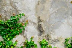 Mexikanisches Gänseblümchen oder Coatbuttons auf der Wand Stockbild