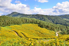 Mexikanisches Sonnenblumenfeld lizenzfreie stockfotografie