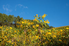 Mexikanisches Sonnenblumenfeld Lizenzfreie Stockbilder