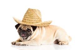 Mexikansk hatt för mopshund på vit bakgrund Royaltyfria Bilder
