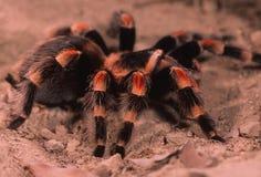 mexikansk röd tarantel för ben Arkivbild