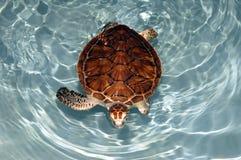 mexikansk sköldpadda Arkivbild