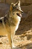 mexikansk wolf fotografering för bildbyråer