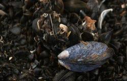 Mexilhão no musselbed na praia fotos de stock royalty free
